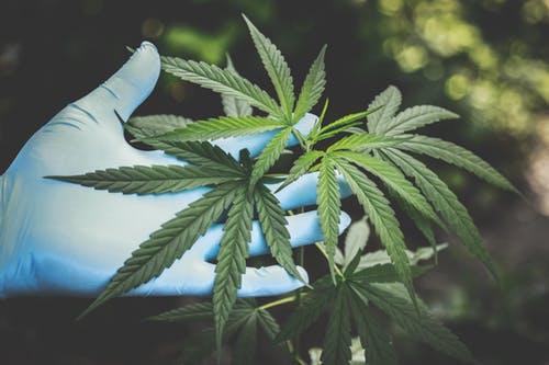 Marijuana Drug